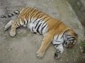Tigri  Zoo Brasov