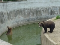 Ursul Carpatin