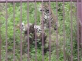Jaguarul Zoo Brasov