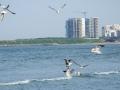 Pescarusi la Mamaia