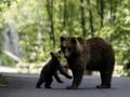 Poze Ursi | Galerie Foto Busteni